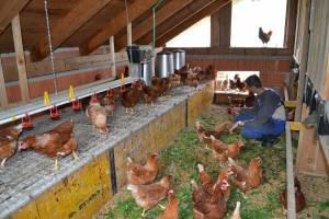 platz für hühner